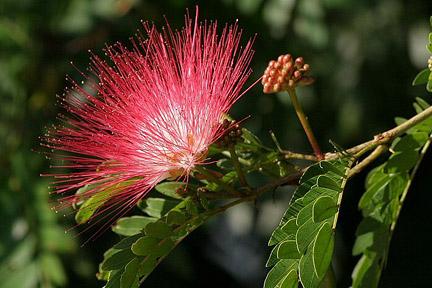 calliandra blomma