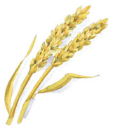 symbol för axplock: två strån med vete